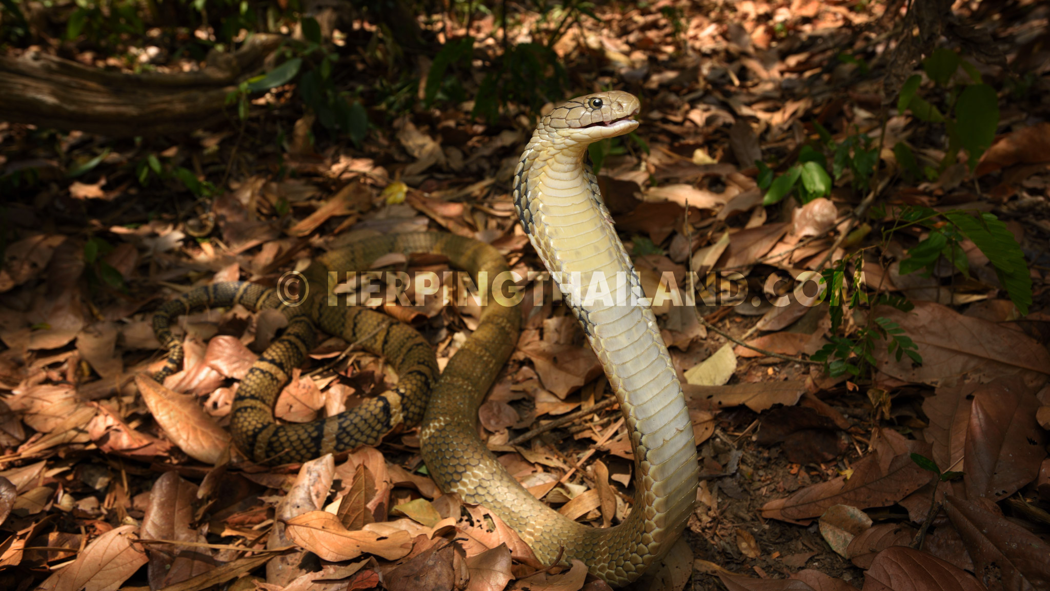 Ophiophagus hannah – King Cobra – HerpingThailand.com