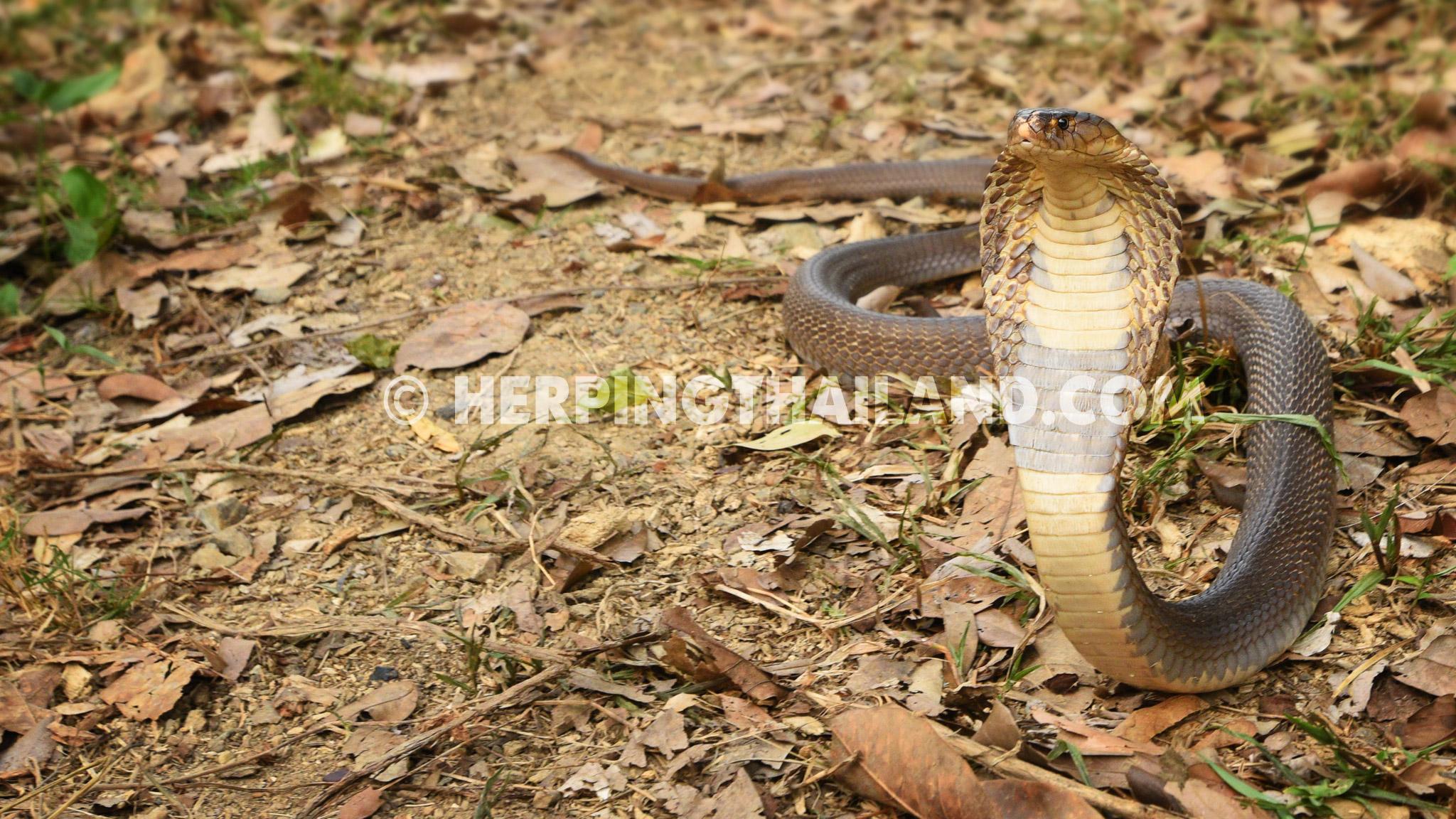 Naja kaouthia – Monocled Cobra – HerpingThailand.comNaja Kaouthia