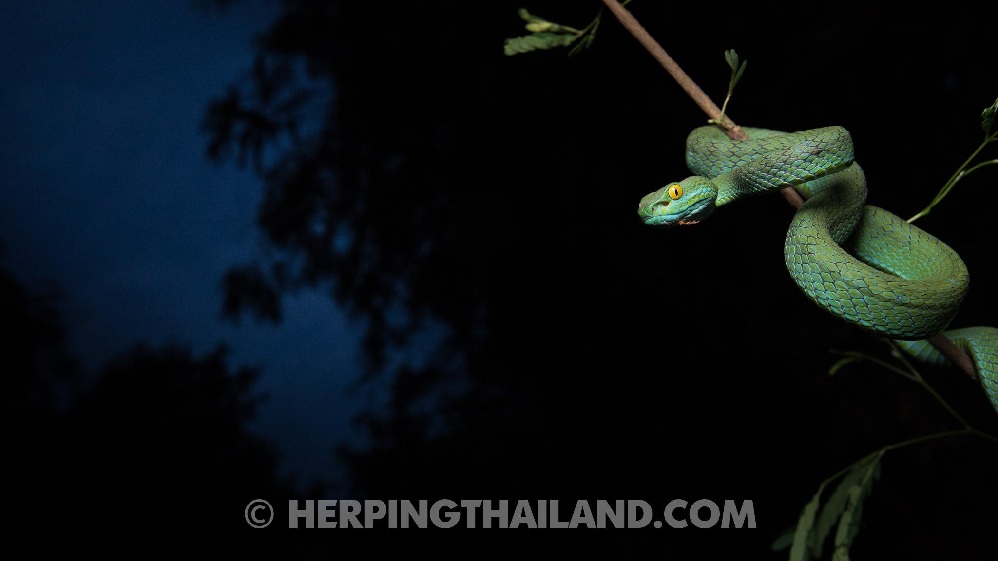 Trimeresurus macrops – Large-eyed Pit Viper