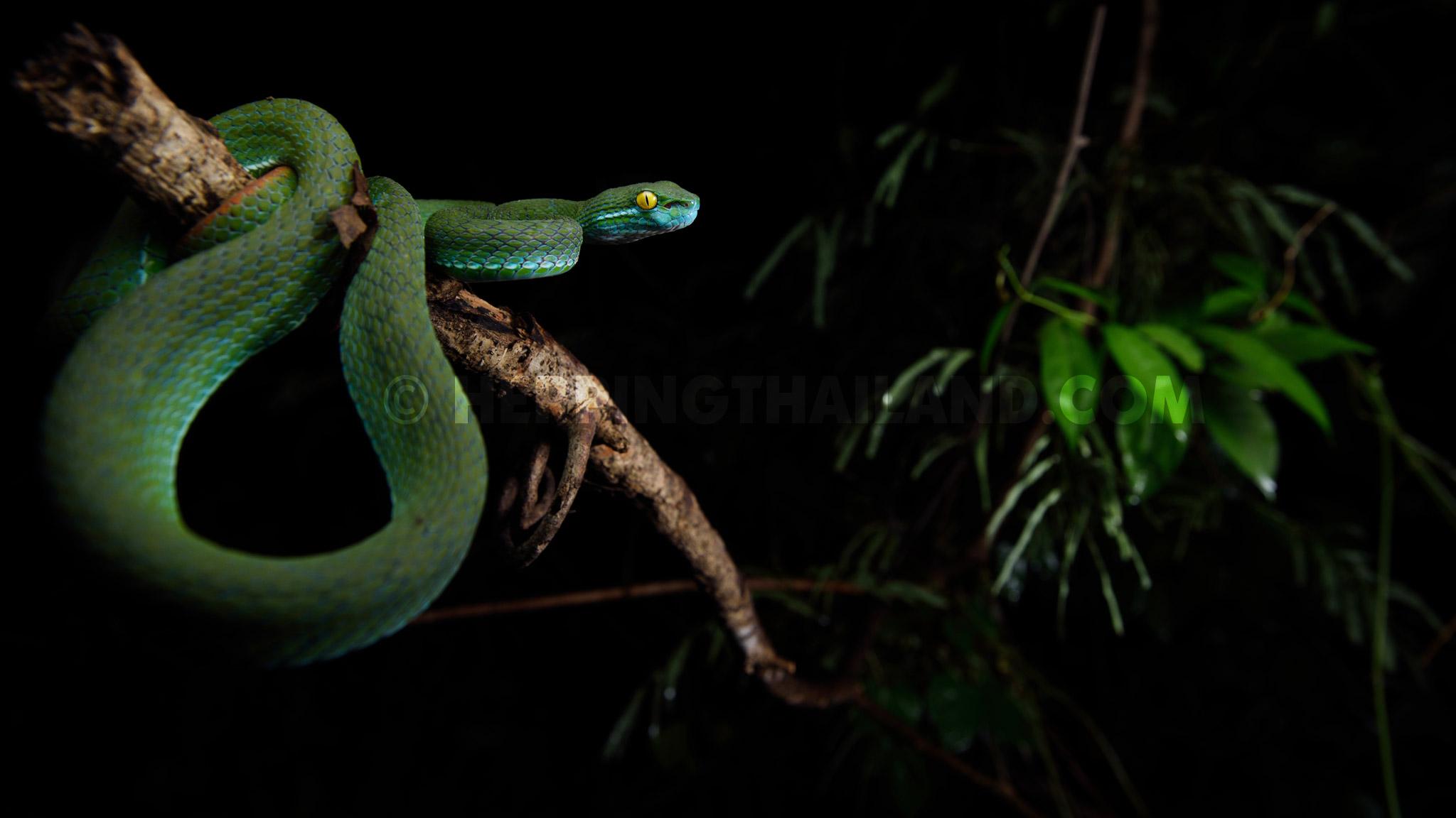 Trimeresurus Macrops Large Eyed Pit Viper