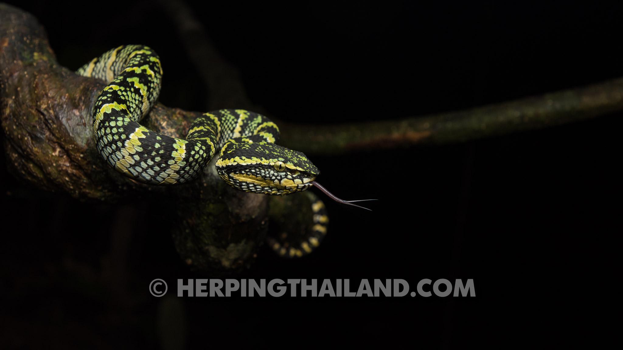 Tropidolaemus Wagleri Waglers Pit Viper Herpingthailandcom